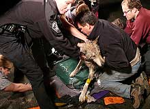 Rescuers worked to successfully free a wolf with its head trapped in a heavy steep pipe
